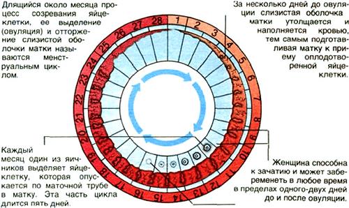 Толщина эндометрия по дням цикла: нормы размеров
