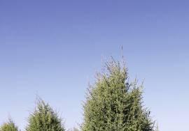 МОЖЖЕВЕЛЬНИК ОБЫКНОВЕННЫЙ - juniperus communis l.