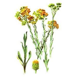 БЕССМЕРТНИК ПЕСЧАНЫЙ – helichrysum arenarium (l.) moench.