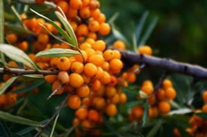 Облепиха - чудесное растение для лечения гриппа и укрепления иммунитета