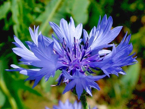 ВАСИЛЕК СИНИЙ – centaurea cyanus l.