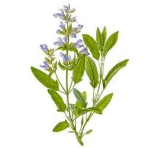 Шалфей лекарственный (salvia officinalis l.): описание, свойства и противопоказания