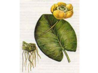 КУБЫШКА ЖЕЛТАЯ - nuphar luteum (l.) sibth. et smith